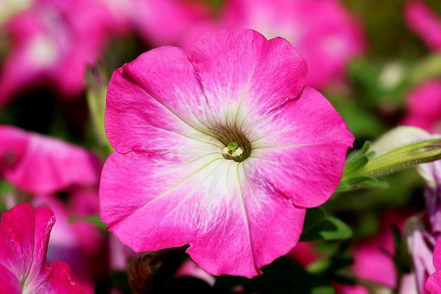 Petunia, Flowers, Tabitha, Plants, Nature, June