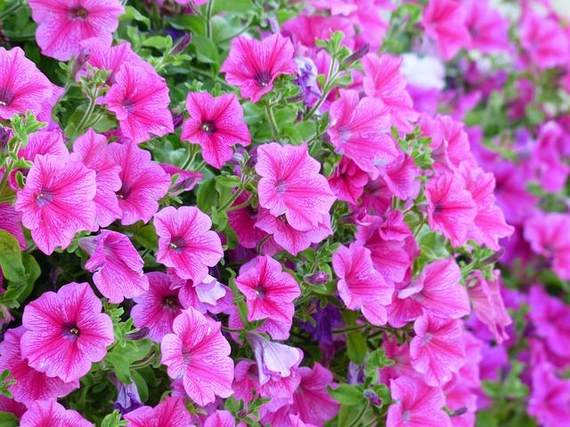 Petunia, Flower, Blossom, Bloom, Pink, Flowers