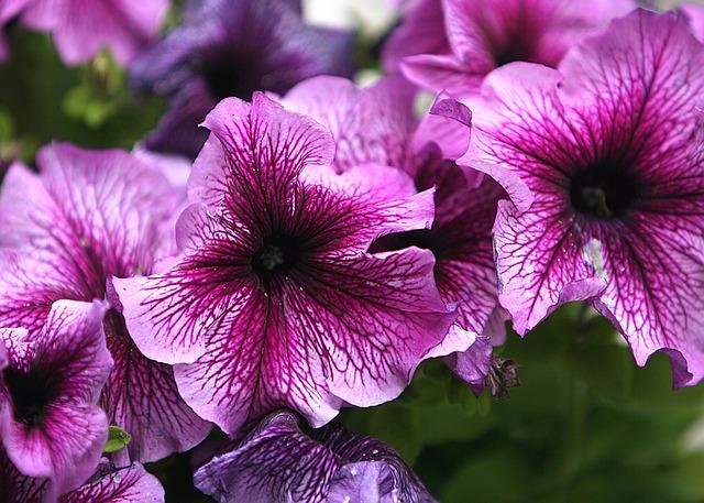 Flower, Petunia, Blossom, Gardening, Pink, Spring
