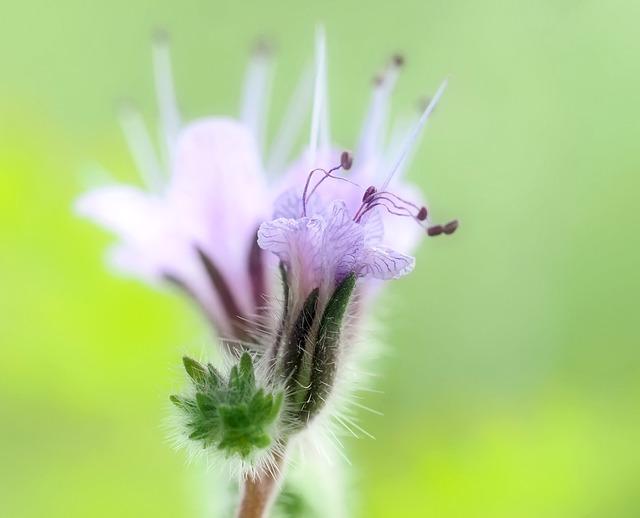 Phacelia, Bee Friend, Blue, Blossom, Bloom