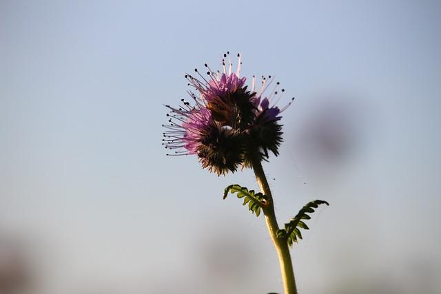 Bee Friend, Phacelia, Blossom, Bloom, Bees