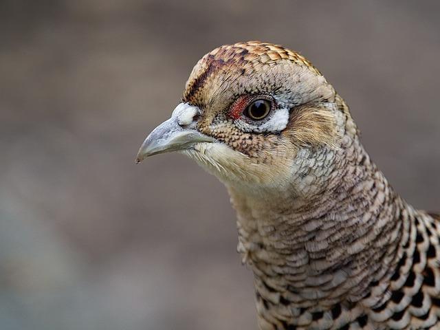 Pheasant, Female, Bird, Phasianidae, Galliformes, Hen