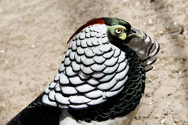 Diamond Pheasant, Pheasant, Bird, Feather