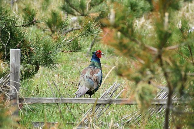 Animal, Forest, Grass, Wood, Bird, Wild Birds, Pheasant