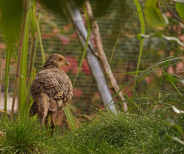 Pheasant, Bird, Plumage, Species