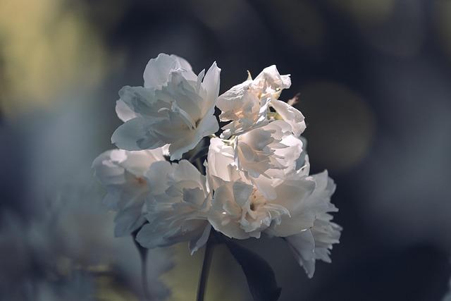 Scent Of Jasmine, Philadelphus Erectus, Jasmin, White