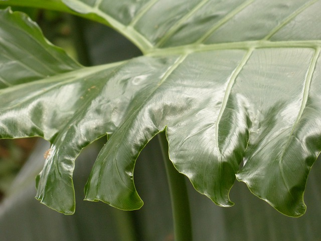 Leaf, Large, Green, Philodendron, Tree Philodendron