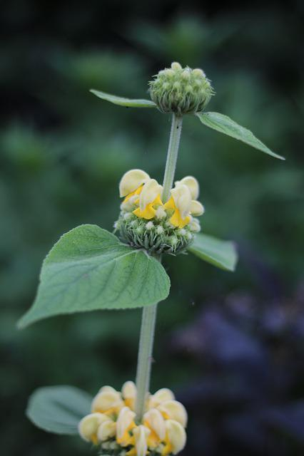 Phlomis Russeliana, Fire Herb, Garden, June