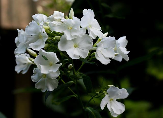 Phlox, Flame Flower, Flowers, Garden, Beautiful, Summer