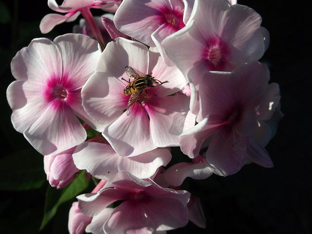 Phlox, Flame Flower, Greek Valerian Plant, Pink, Wasp