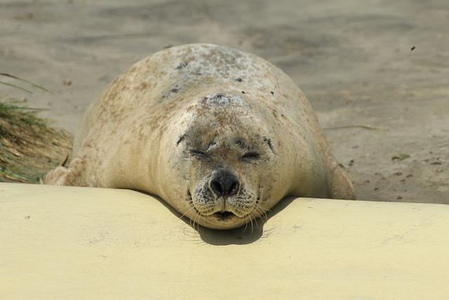 Seal, Phoca Vitulina, Robbe, Dog Seal, Animal, Coast