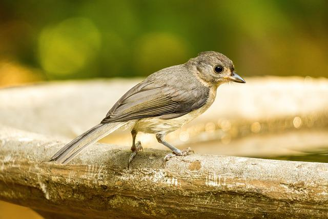 Eastern Phoebe, Phoebe Perched, Flycatcher, Bird