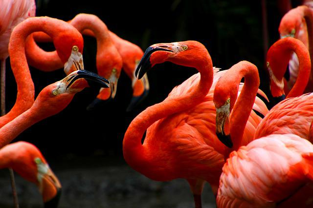Flamingos, Phoenicopteridae, Colombia, Cartagena, Birds