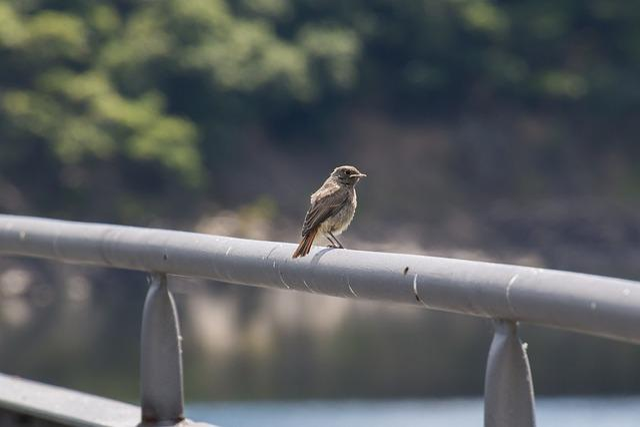 Black Redstart, Eifel, Phoenicurus Ochruros, Bird, Ivy