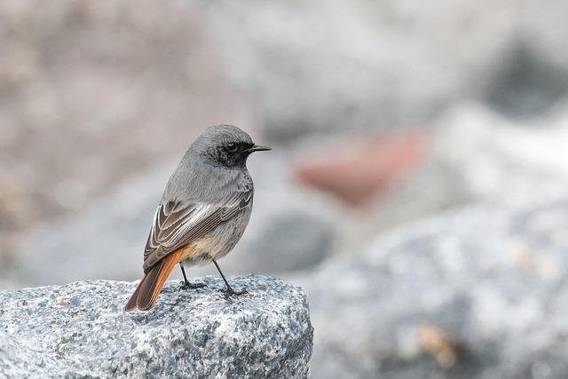 Black Redstart, Phoenicurus Ochruros, Migratory Bird
