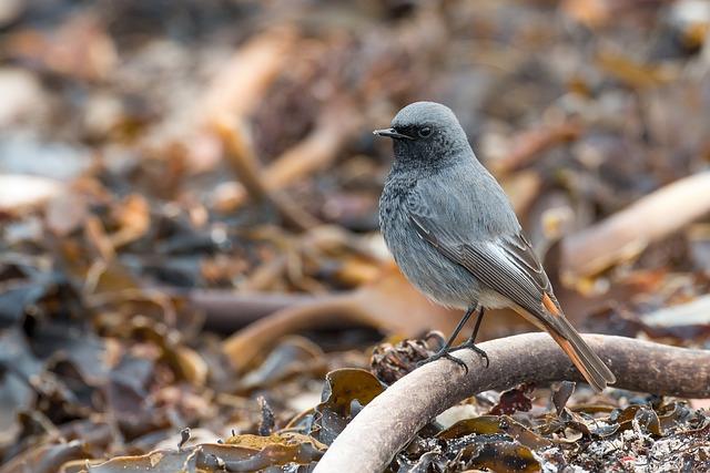 Black Redstart, Phoenicurus Ochruros, Helgoland, Tang