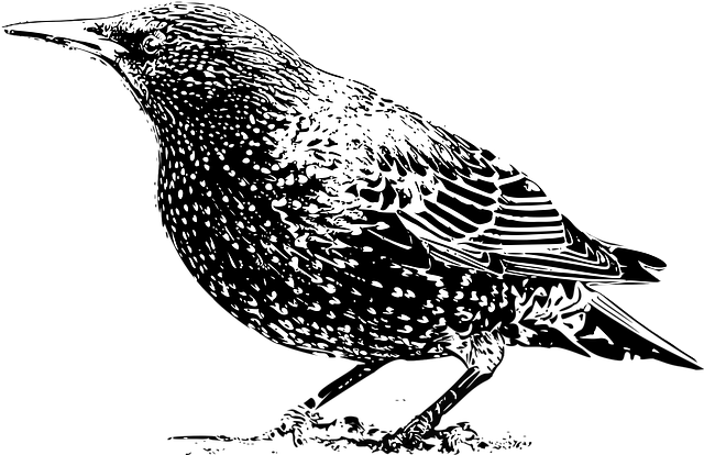 Animal, Bird, Black, Black And White, Photo, Starling