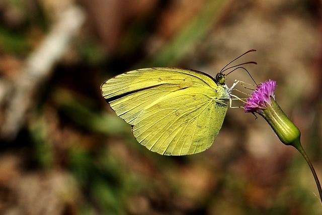 Yellow, Closeup, Photo, Pincushion, Macro, Scabiosa