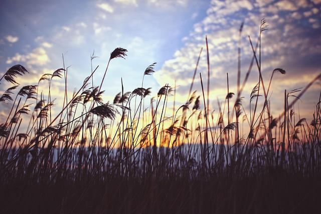 Phragmites, Sunset, Clouds, Lake, Nature, Reed