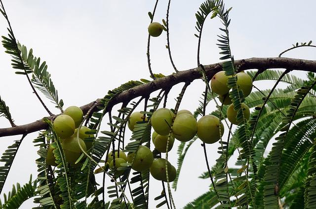 Indian Gooseberry, Amla, Phyllanthus Emblica
