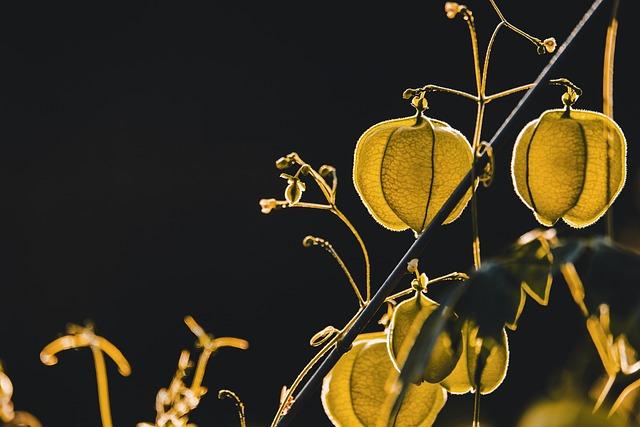 Physalis, Plant, Nachtschattengewächs, Lantern