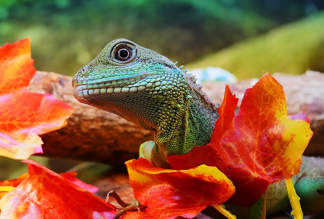 Free photo Physignathus Cocincinus Water Dragon Chinese Dragon - Max