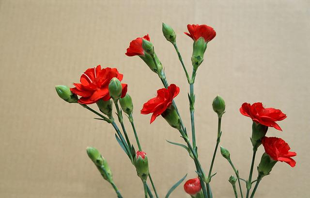 Carnations, Red, Natural, Picture