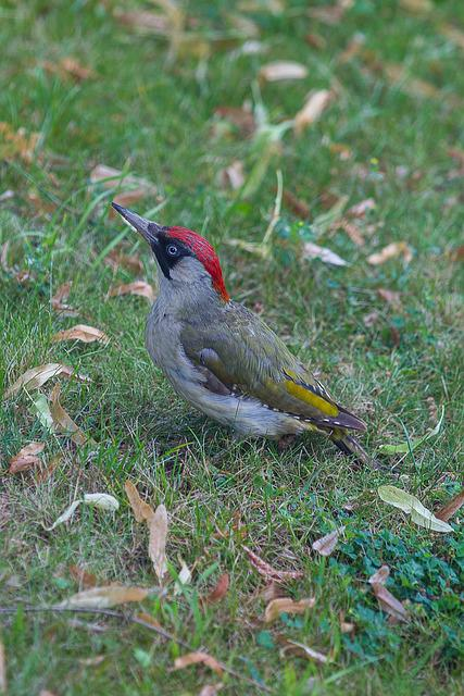 Green Woodpecker, Picus Viridis, Woodpecker