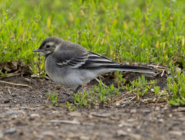 Juvenile Pied Wagtail, Wagtail, Pied Wagtail