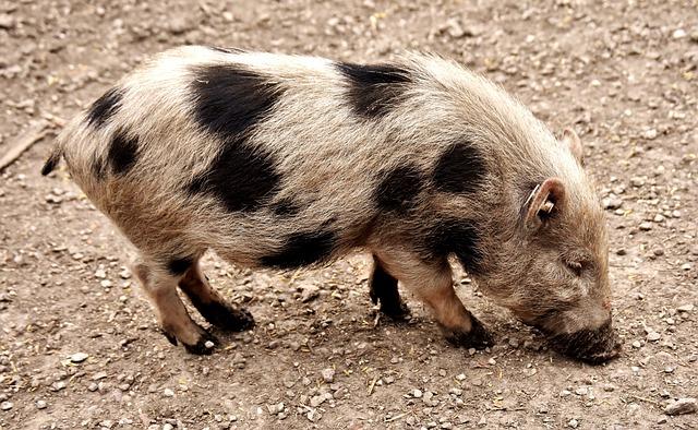 Miniature Pig, Animal, Pig, Piglet, Animal World, Dirty