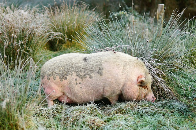 Pig, Boar, November, Frost, Morning, Mammal, Nature