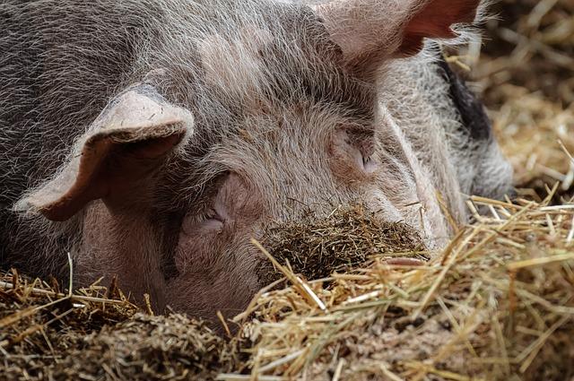 Pig, Farm, Animal, Agriculture, Domestic Pig, Mammal