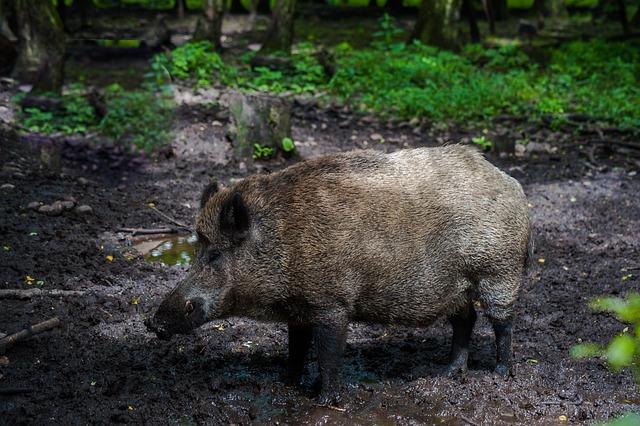 Boar, Fur, Forest, Bristles, Mud, Pig Nose, Nature