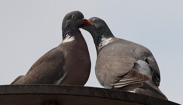 Pigeons, Doves And Pigeons, Pigeon Birds, Columbiformes