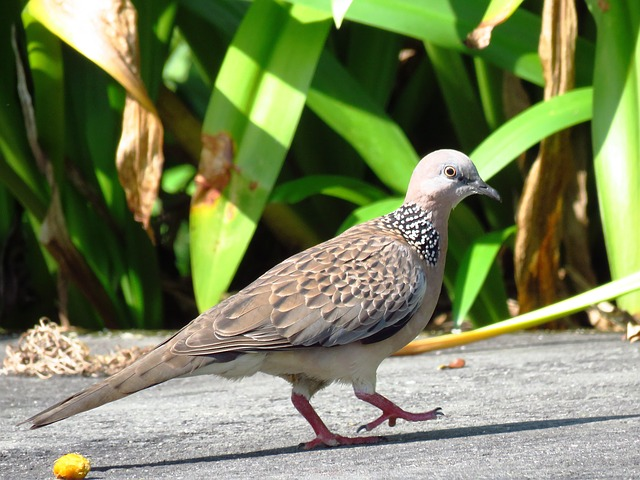 Dove, Spotted Dove, Pigeon, Bird, Close Up, Waling