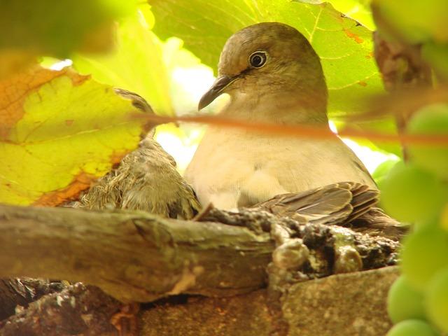 Pigeon, Nest, Pigeon Nest, Birdie, Bird