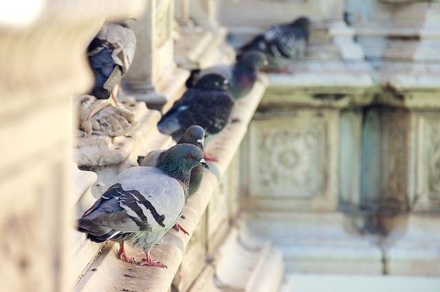 Pigeon, Fountain, Italy, Piazza, Siena
