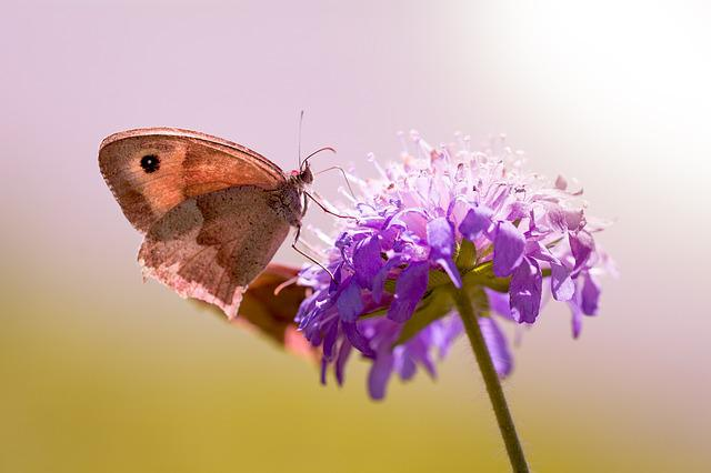 Butterfly, Meadow Brown, Deaf-skabiose, Pigeon Scabious