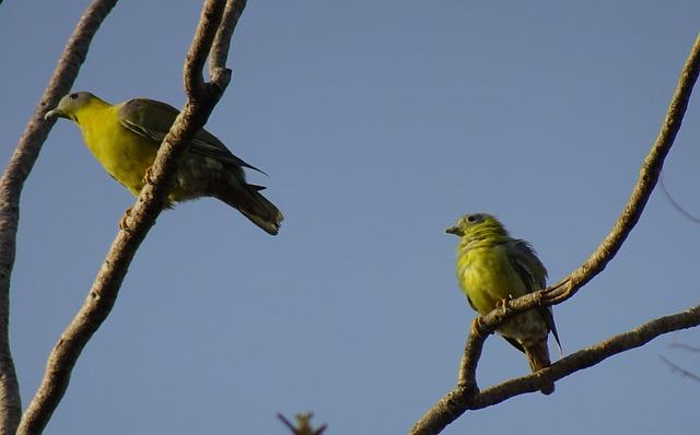 Bird, Pigeon, Juvenile, Yfgp