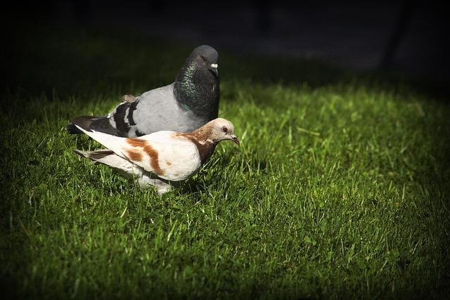 Pigeons, Birds, Fauna