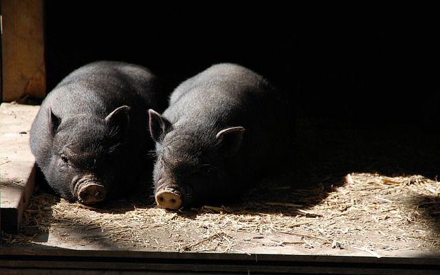 Pigs, Piglets, Piglet, Pig, Farm, Mammal, Pork, Piggy
