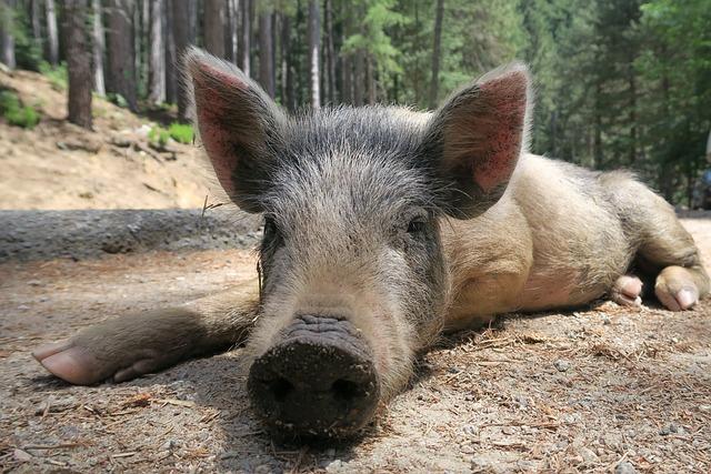 Pig, Wild Pig, Little Pig, Corsican, Piglet