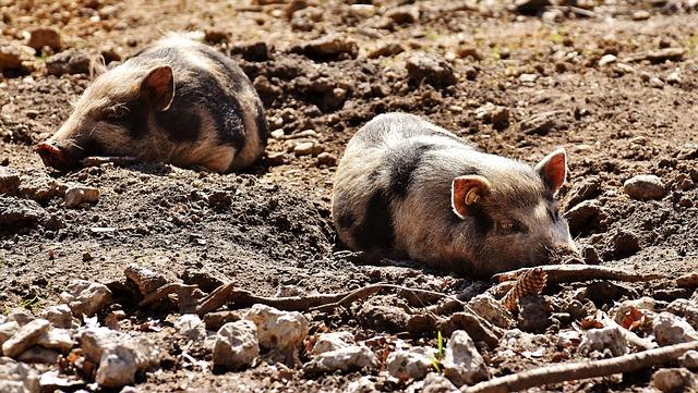 Mini Pigs, Pigs, Sleep, Enjoy The Sun, Animal, Piglet