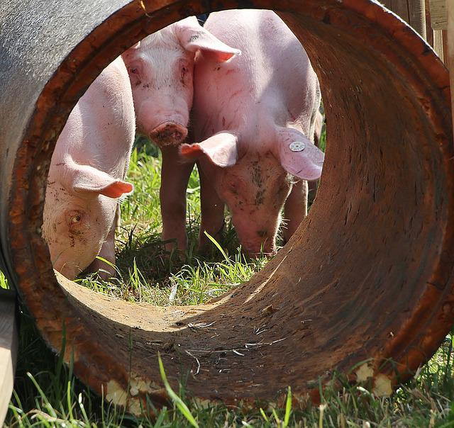 Piglet, Pigs, Luck, Lucky Pig, Agriculture, Farm