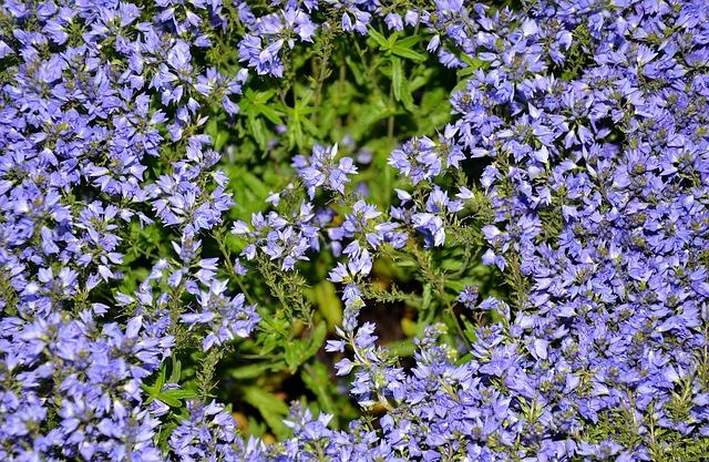 Blue, Pillow, Aubrieta, Aubrietien, Cruciferous, Plant