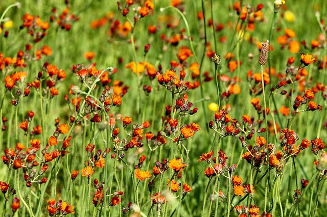 Hawkweed, Flower Meadow, Pilosella Aurantiaca, Meadow