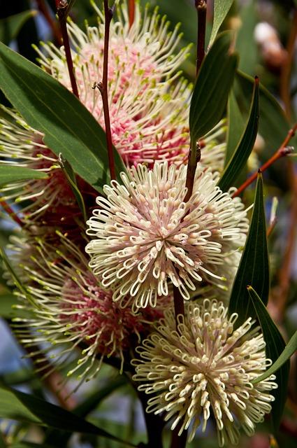 Pin Cushion Hakea, Flowers, Australian, Native