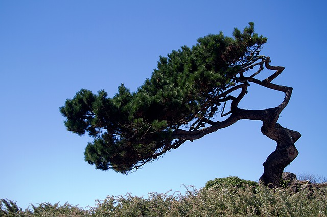 Brittany, Atlantic Coast, France, Pine