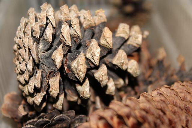 Pine Cone, Nature, Conifers, Closeup, Coniferous Trees