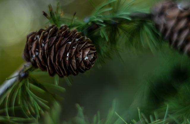 Pine Cone, Green, Tree, Coniferous, Nature, Pine, Iglak